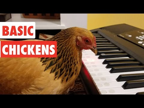 Basic Chickens | Funny Chicken Video Compilation 2017