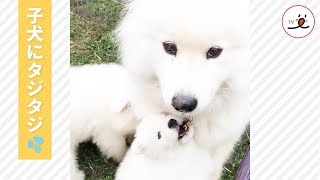 via Instagram@miss_poppet_the_samoyed https://www.instagram.com/mi...