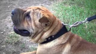 Studded Nylon Dog Collar For Walking And Training
