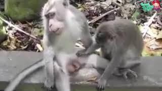 обезьяны хотят секса, а там член не стоит