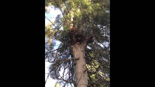 Sow bear and cubs looking for honey up a tree