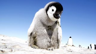 CUTE OVERLOAD! RoboSpy Penguin Captures The Birth Of Emperor Penguin Chicks.