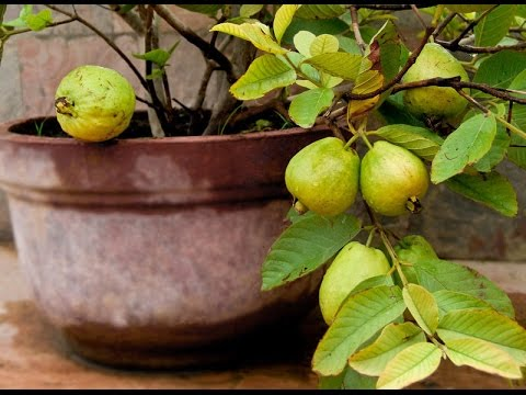 how to grow guava tree in california