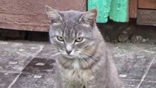строгий взгляд кота.