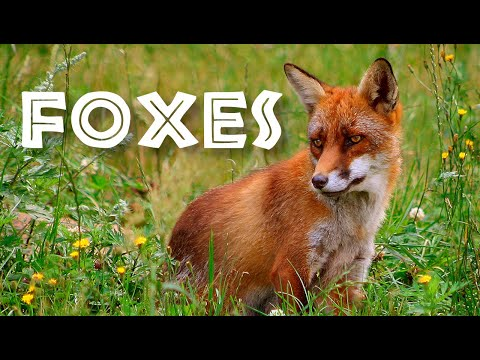 All About Foxes for Kids: Animal Videos for Children - FreeSchool