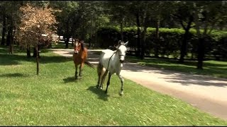 Horses run loose in Golden Gate Estates neighborhood