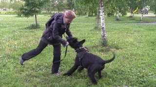 Работа с возбудимой собакой, борьба на игрушке и массаж, дрессировка ризеншнауцера