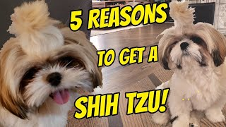 5 Reasons why you SHOULD get a SHIH TZU PUPPY