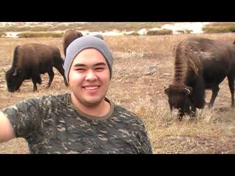 Encuentro con bufalos, en yellowstone