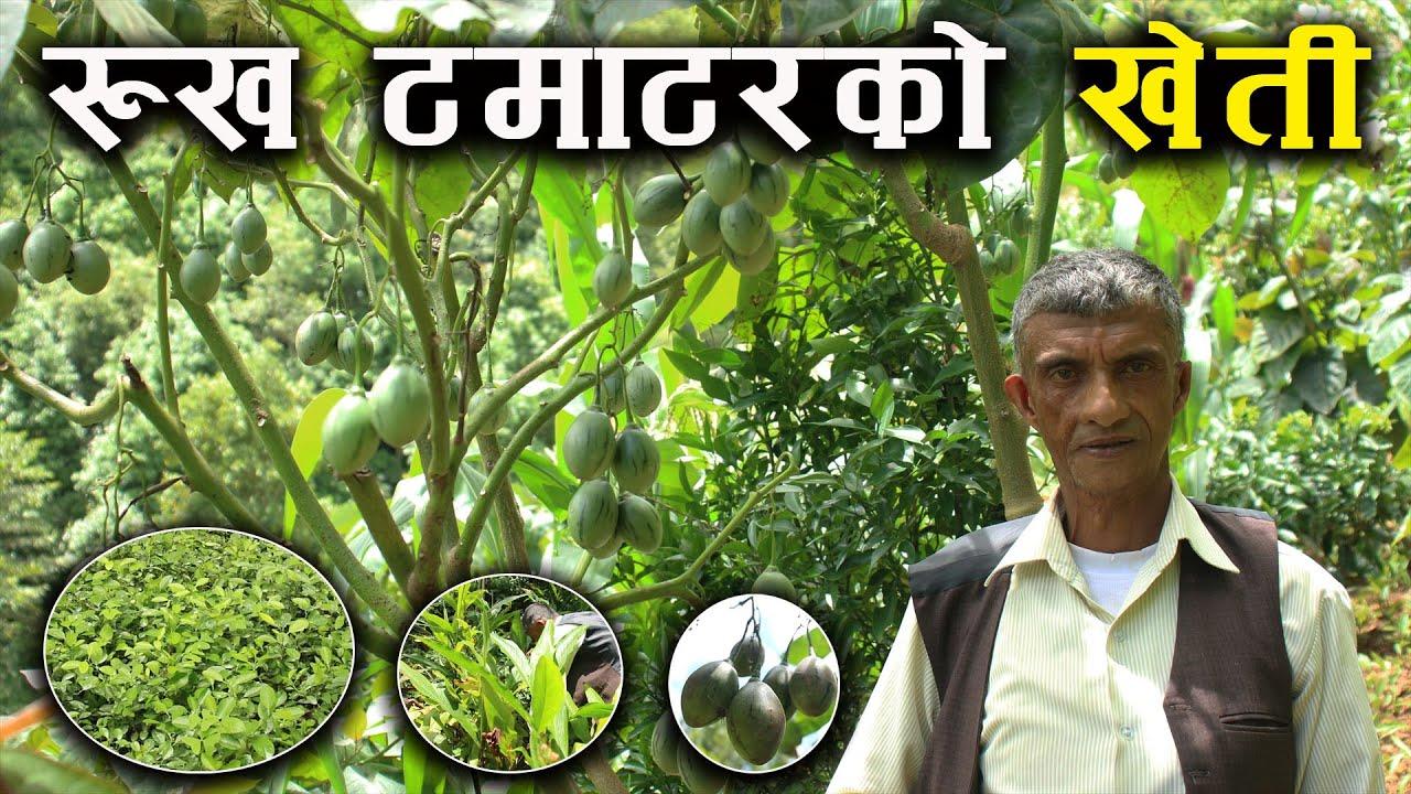रुख टमाटरको खेती सहित अलैंची,कागति र किवीको बिरुवा बेचेर बार्षिक १० लाख सम्म आम्दानी गर्ने किसान