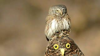 Воробьиный сыч - мелкая сова (Eurasian pygmy owl)