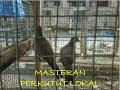 Masteran Perkutut Lokal Suara Merdu Durasi Panjang  Mp3 - Mp4 Download