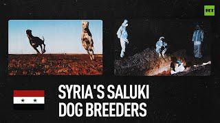 Meet Syria's saluki dog breeders