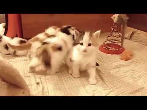 NORWEGIAN FOREST CAT KITTENS / NORVÉG ERDEI KISCICÁK no.3