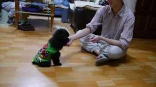 我家狗兒QQ訓練過程(握手、趴下、坐下、蹦蹦、站起來走路)
