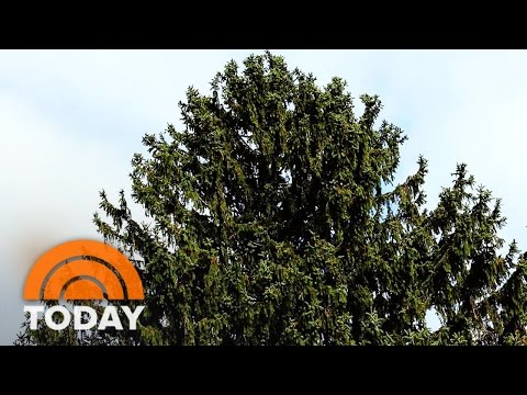 First Look At The 94-Foot Rockefeller Center Christmas Tree | TODAY