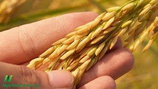 Kolik arsenu v rýži je příliš?