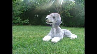 #27 BEDLINGTON TERRIER 3/3 | Which Dog Should I Get? Dog Breed Selector
