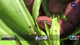 دودة الحشد الخريفية تتسبب بخسائر كبيرة في المحاصيل الزراعية - (3-5-2018)