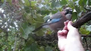 Птица сойка