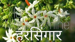 हरसिंगार|| harshringar, night jasmine health benefits and how to grow