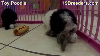 Toy Poodle, Puppies, For, Sale, In, West Jordan, Utah, County, Ut, Utah, Davis, Cache, Box Elder, Ir