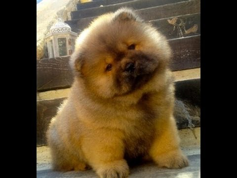 Chow Chow Puppies Dogs For Sale In Charlotte North