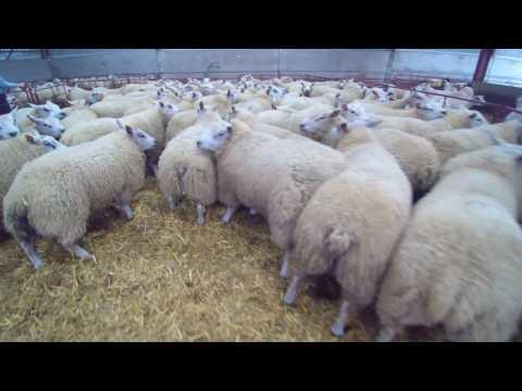 Shearing 2017