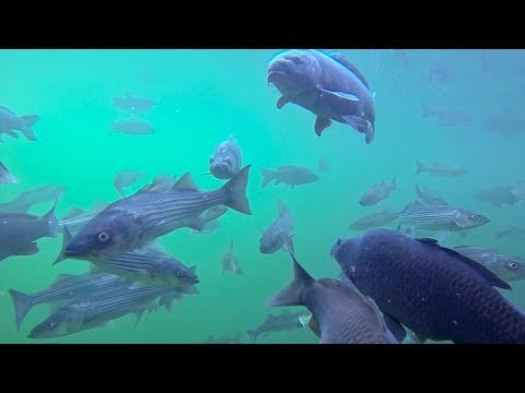 Spearfishing carp in lake mead, colorado river