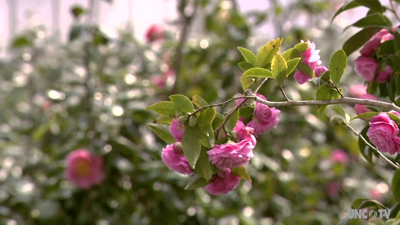 Camellia Forest Nursery On Unc Tv You