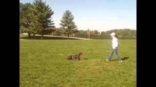 Red Doberman Pinscher (1 Yr Old Male) And I Doing Some Training & Playing At The Field