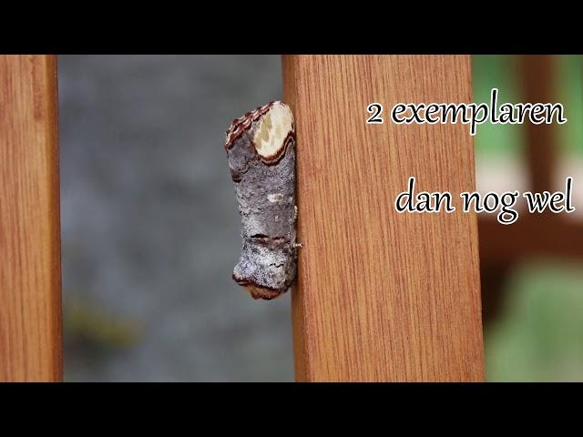 1 minuut natuur: wapendrager - buff tip - la bucéphale - der Mondvogel