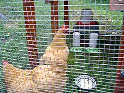 Noisy Chicken - The Egg Song