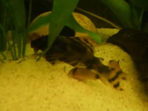 Аквариумные рыбки под заказ (l-fish). Группа кольчужных (лорикариевых сомов) насчитывает около 500 экземпляров. Некоторые из них считаются.