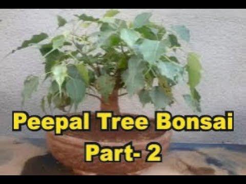 Peepal Tree Bonsai Part- 2 Gardening Sekho in Hindi/Urdu, planning a garden