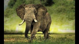 Топ 5 Удивительных предков слонов