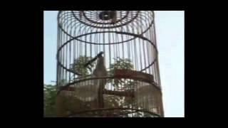 Kicauan Burung Kecial Kombo Di Pagi Hari