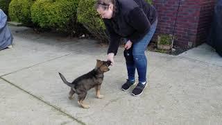 Mojo puppy pre school, K9 Unleashed, 8 week old German Shepherd