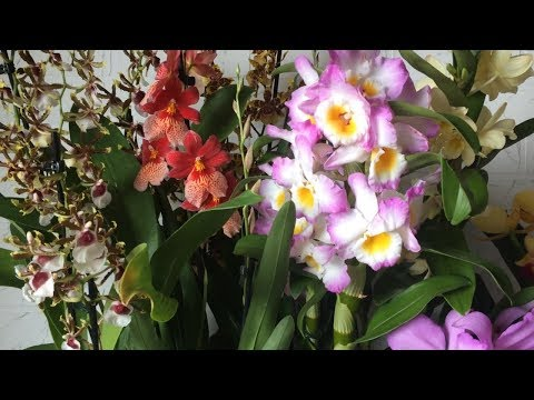 Завоз орхидей от 15.08.2018г. Фаленопсис, Камбрия, Каттлея, Дендробиум, Орхидея мини. Орхидеи почтой