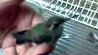 hummingbird baby part 2