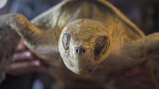 Inside the effort to save sea turtles stunned by frigid waters