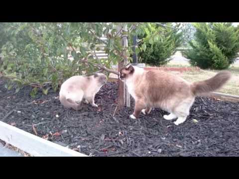 Valentino Chases Ella - PoathCats / PoathTV / Floppy Ragdoll Cats