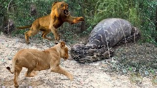 Python is too Dangerous - Big Mistake Of Lion When Attack Python - Python vs Lion Real Fight