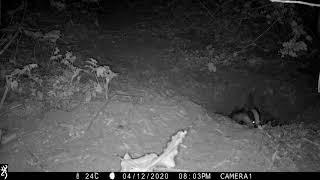 Badger boar dragging bedding into his sett