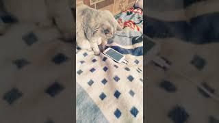 Моя кошка играет в телефон!!!!!!!! 1!! 1!! 111