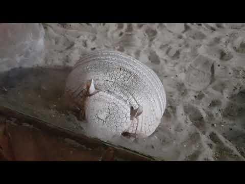 Larger hairy armadillo / Chaetophractus villosus