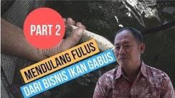 Peluang Bisnis Budidaya Ikan Gabus PART 2, Tips Sukses Membudidaya Ikan Gabus