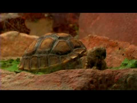 Pet Turtles : How to Care for a Desert Tortoise - YouTube