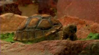 Pet Turtles : How to Care for a Desert Tortoise