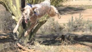 Arizona Cattle Dog Rescue: Radio Interview 7_16_11